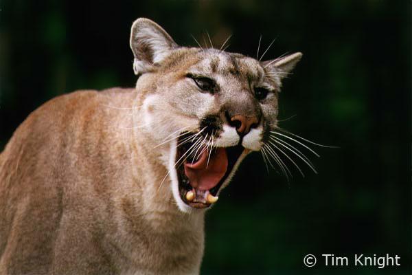 Cougar_01tfk