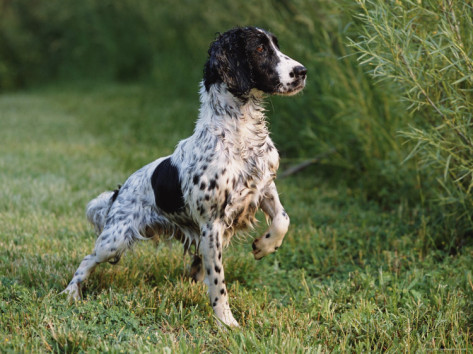 Lynn-m-stone-english-springer-spaniel-wet-and-alert-usa